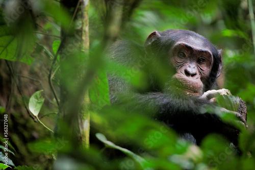 Foto op Aluminium Aap Wild Chimpanzee portrait