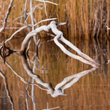Weathered dead wood mirrored on calm water surface poster