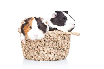 two guinea pigs in a basket