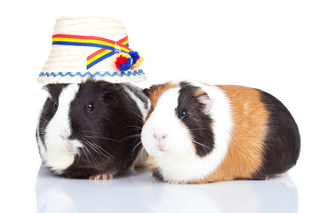 two guinea pigs with a romanian