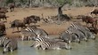 Zebras and wildebeest drinking water, Mkuze, South Africa