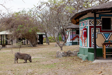 African warthog on a campsite