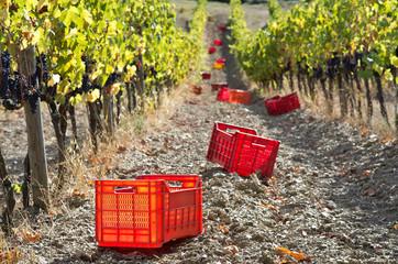 Toscana, Chianti: preparazione alla vendemmmia 3