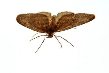 Fliegende Motte