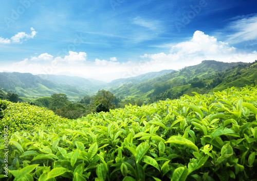 Tea plantation Cameron highlands, Malaysia - 36345622