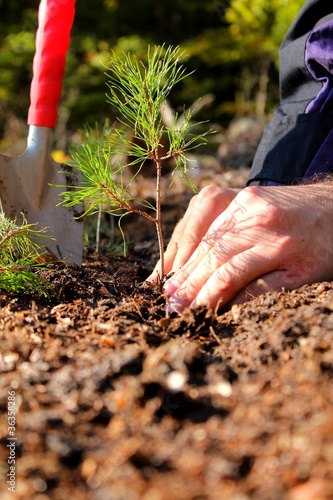 Hands planting a young pine tree