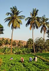Karnataka, piantagione di arachidi, donne al lavoro