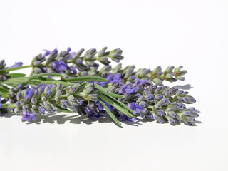 Fresh lavender with leaves set against a white background