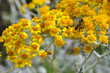 Honey bee feeding on dusty miller flowers