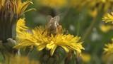 pszczoła - 36387013