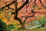 Old Japanese Maple Tree in Fall
