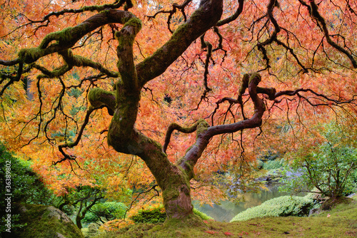 Fotobehang Azalea Old Japanese Maple Tree in Fall