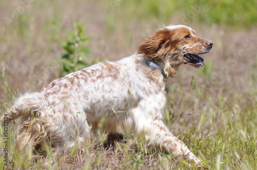 Fotobehang Jacht English Setter Running