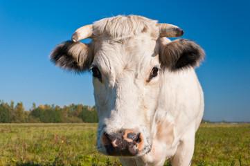 Portrait of a white cow in a Dutch meadow