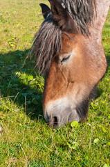 Closeup of an eating brown horse
