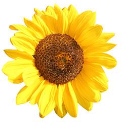 sonnenblum alleinstehend