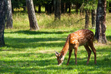 Axis (Spotted) Deer poster