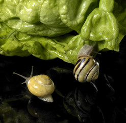 Grove snails and green salad leaf