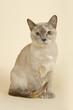 Tokanese Katze 18879