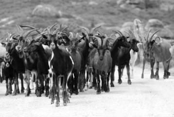 cabras a preto e branco
