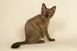 Tokanese Kitten 18812