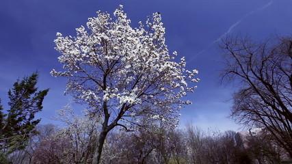 Magnolia Flowery Tree