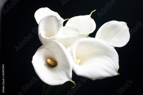 white calla lily in black background