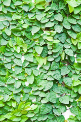 The Green Creeper Plant on the wall for background.