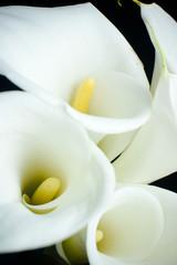 white calla lily in black background