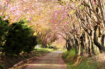 Cheery Pinky Blossom Way