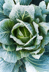 Green cabbage from top view with frozen leaves.