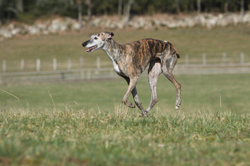 galgo gambadant - spanish greyhound running