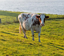 Red spotted white cow in a sunny meadow