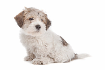 mix Maltese Puppy dog