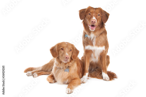 two Nova Scotia Duck Tolling Retriever dogs