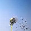 blown dandelion flower