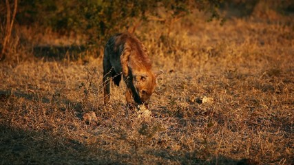 Spotted hyena scavenging on bones of carcass, South Africa