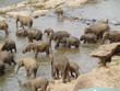 Elephant herd bathing in the river in Sri Lanka