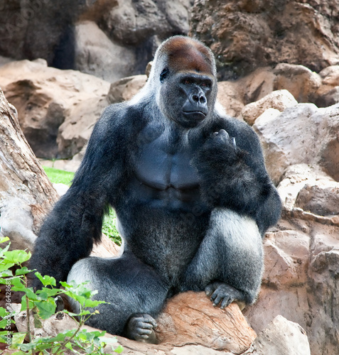 A large male silver of back gorilla sitting