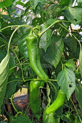 green pepper on branch in hothouse