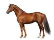 Fototapeten,isoliert,hengst,pferd,tier