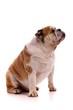 Hund englische Bulldogge sitzend