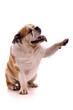 Hund englische Bulldogge zeigt mit Pfote rechts