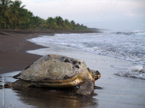 Staande foto Schildpad Sea turtle in Tortuguero National Park, Costa Rica