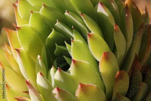 green plant Sempervivum