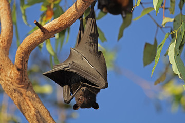 Black flying-fox, Kakadu N/P, Australia