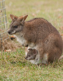 Kangaroo with joey in pouch poster