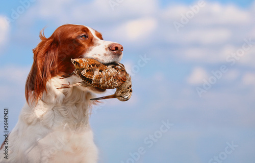 Fotobehang Jacht hunting dog holding in teeth a woodcock, outdoors
