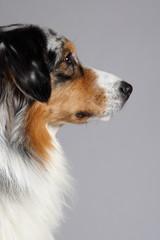 Australian Shepherd Profilbild