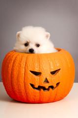 Jack O' Lantern Pumpkin Puppy